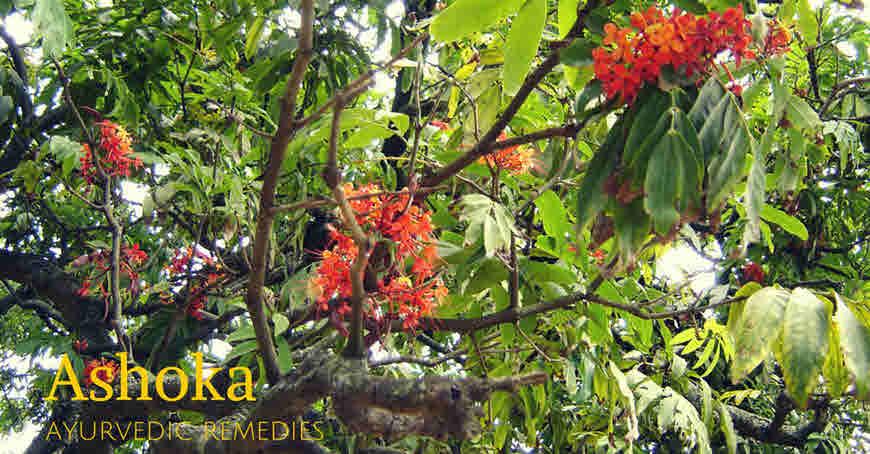 ashoka tree