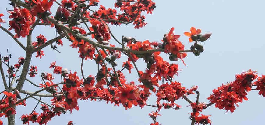 semal tree
