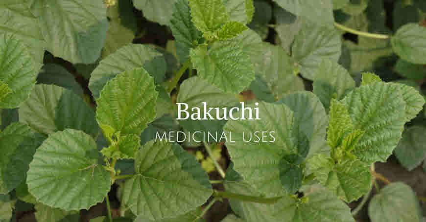 bakuchi medicinal usage