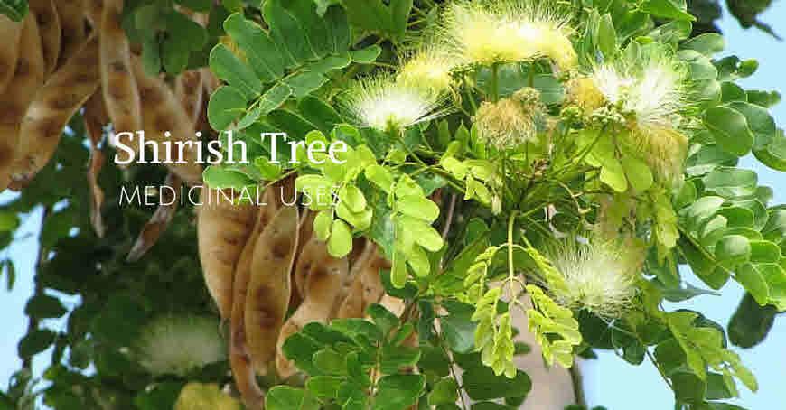 shirish tree medicinal uses