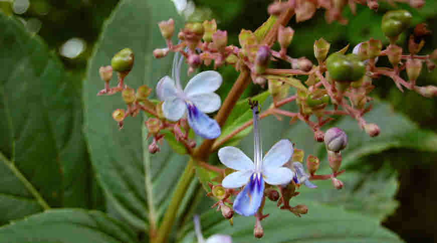 bharangi medicinal usage