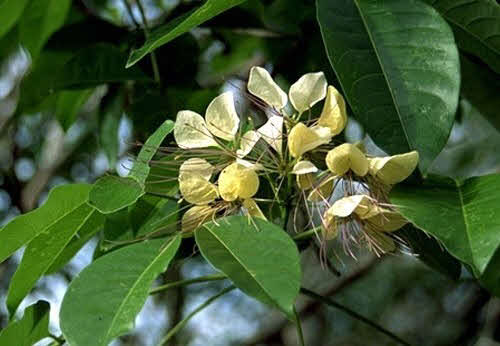 varun tree medicinal uses