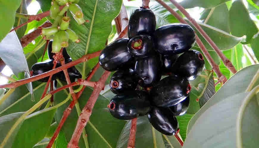 how to make jamun juice for diabetes
