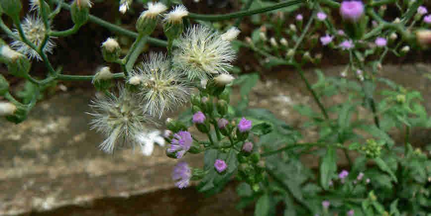 sahdevi plant