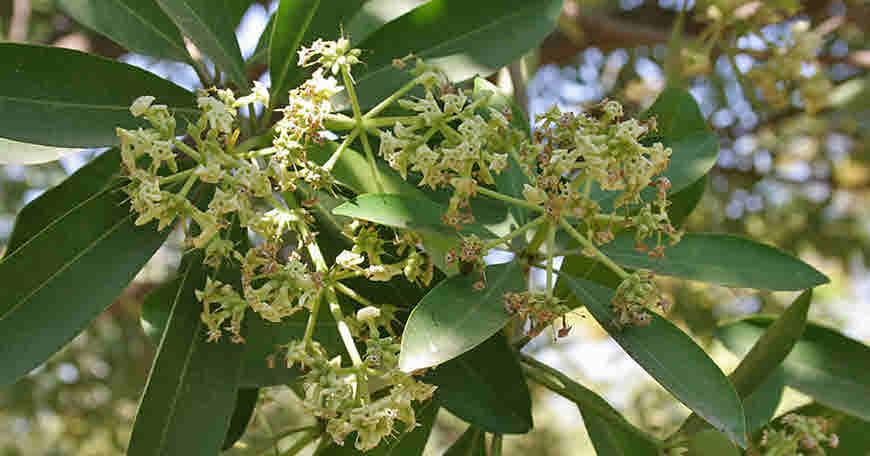 saptparn medicinal uses