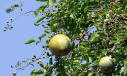 Bael leaf medicinal usage