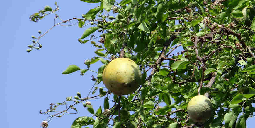 Bael Tree Details And Medicinal Uses Bimbima