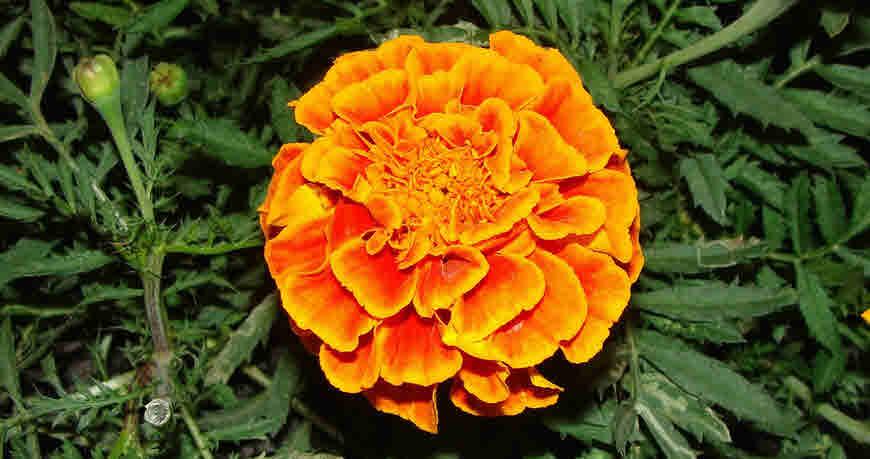 marigold medicinal uses
