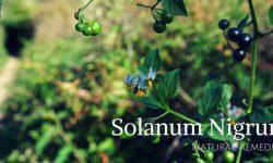 Makoy plant