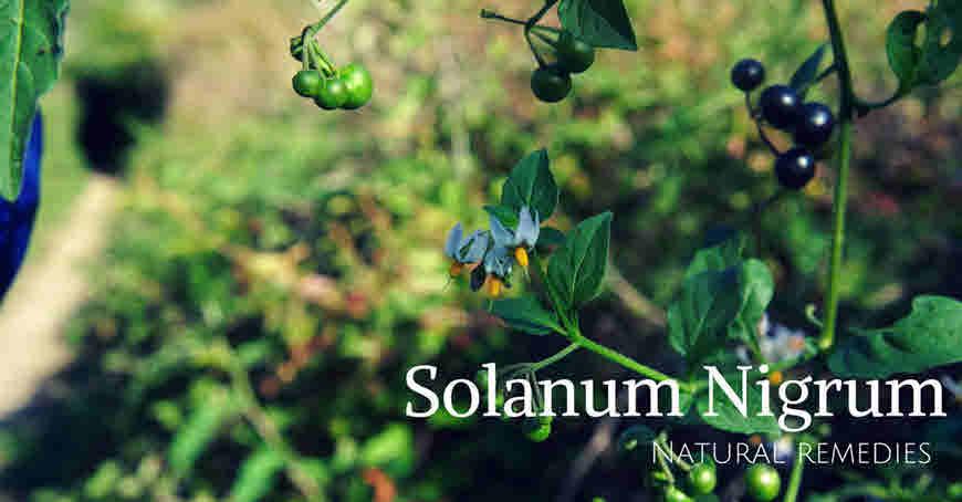 Makoi plant (Solanum nigrum) Medicinal Uses & Side-effects - bimbima