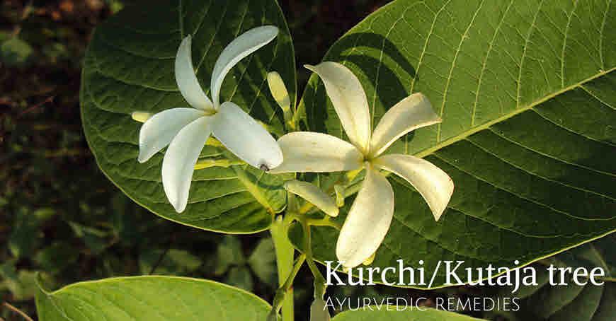 kutaj tree medicinal uses