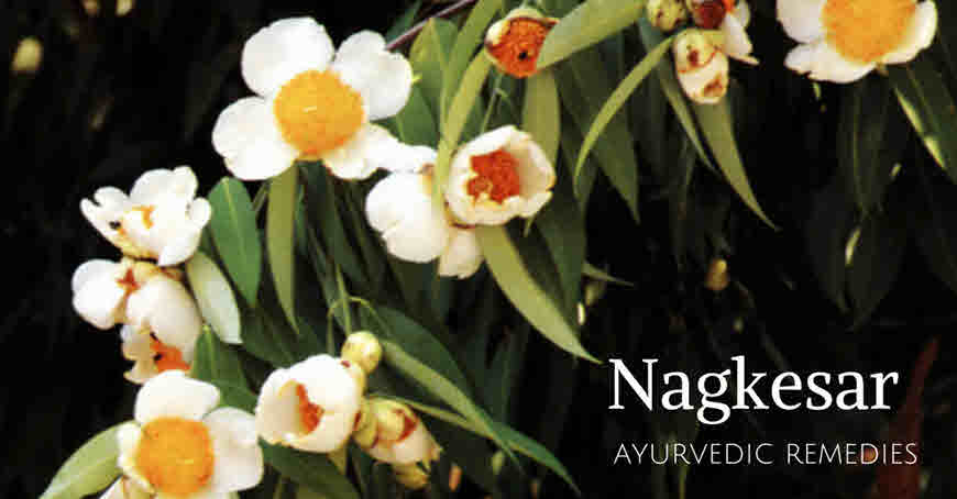 naagkeshr medicinal uses