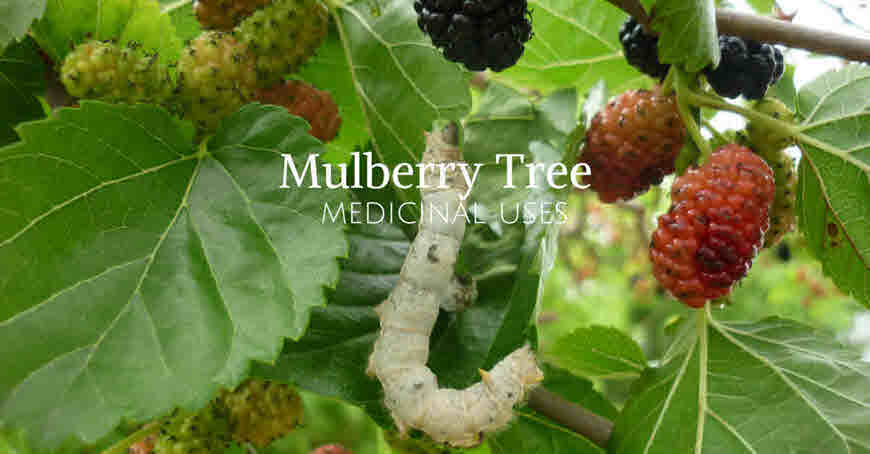 5674e781ea Mulberry Tree Amazing Health Benefits - bimbima