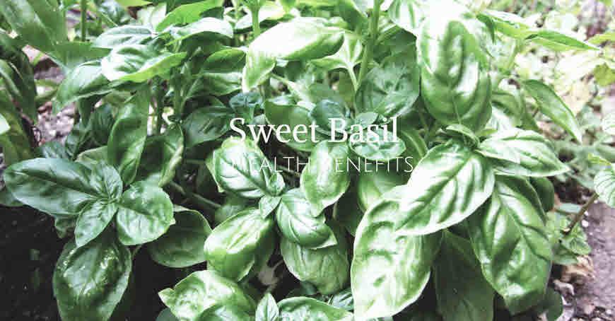 sweet basil plant