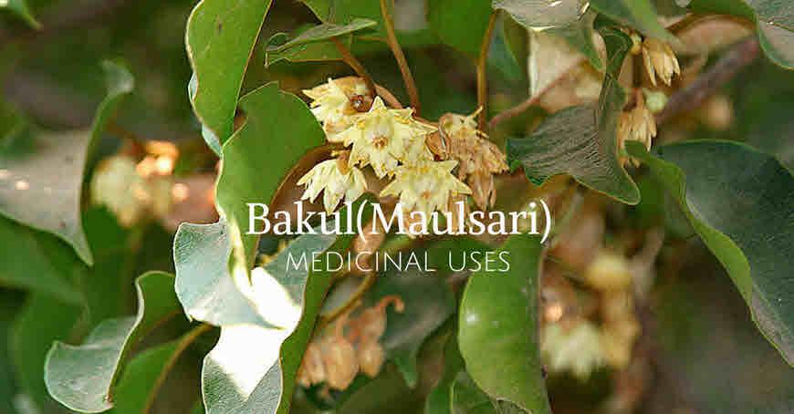 bakul tree