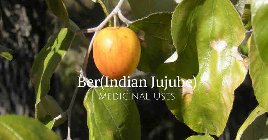 Know The Medicinal Uses of Ber(Indian Jujube)