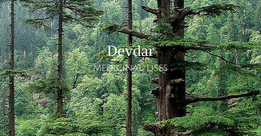 importance and uses of deodar tree