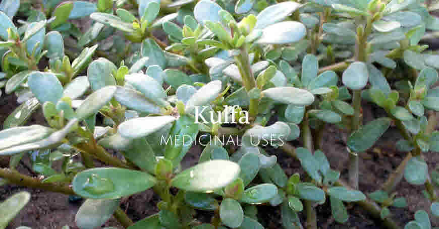 kulfa weed benefits