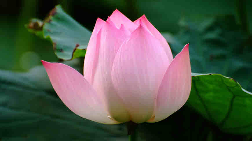 Kamal Sacred Lotus Information And Medicinal Uses Bimbima