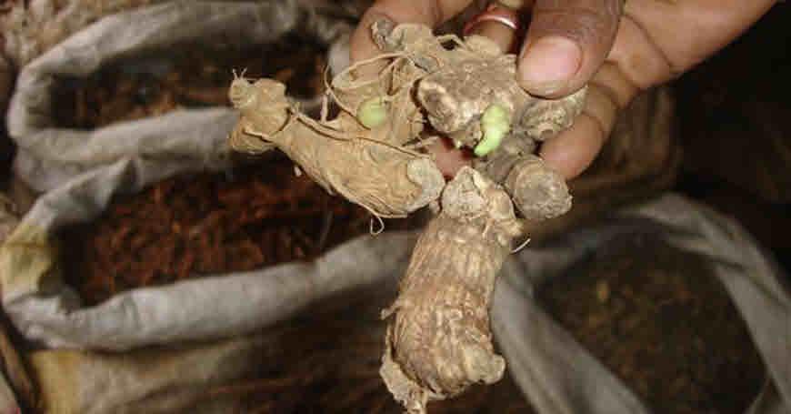puskarmoola medicinal uses
