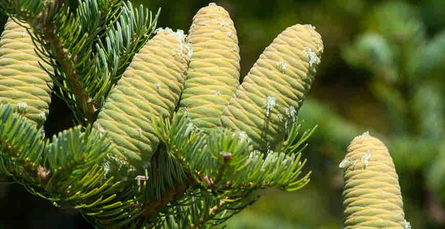 talispatra medicinal tree