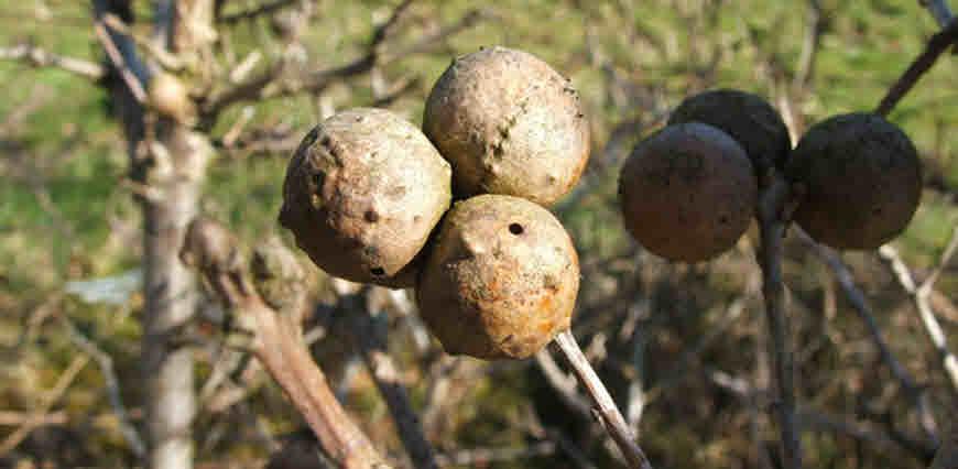 oak gals medicinal plant
