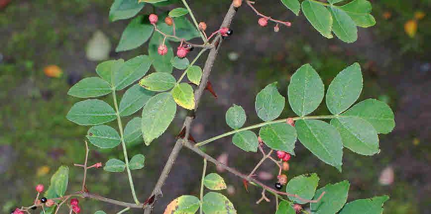 tumburu medicinal uses