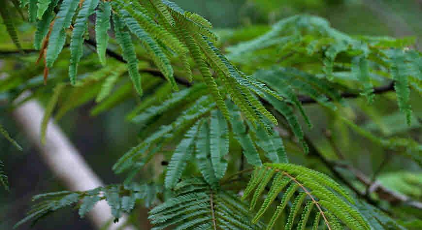 climbing acacia tree