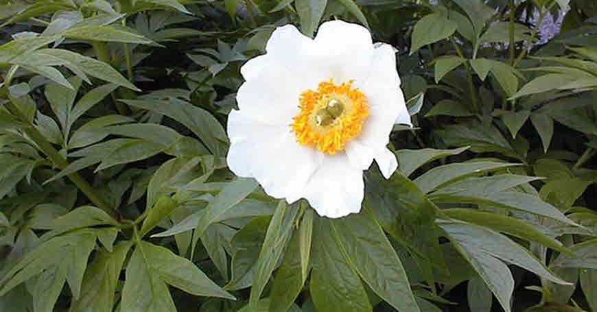 paeonia emodi medicinal plant