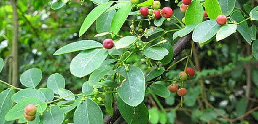 kamboji medicinal plant