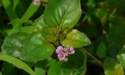 punarnava medicinal uses