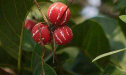 shivlingi plant
