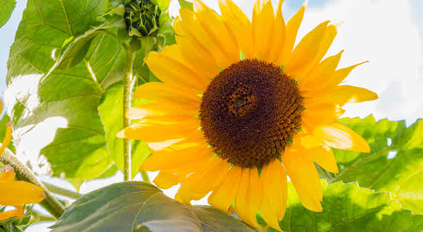 Sunflower Helianthus Annuus Information Medicinal Uses Bimbima