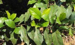 streblus asper medicinal uses