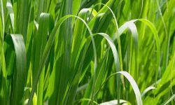 Palmarosa Grass Health benefits
