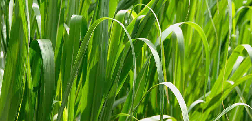 antibacterial property of lemongrass leaves cymbopogon Read this essay on antimicrobial property of garlic (allium sativum) leaves against staphylococcus aureus  and lemongrass (cymbopogon citratus).