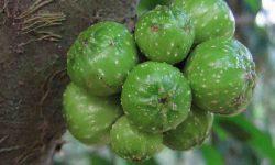 phalgu medicinal tree