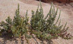 Khardi medicinal plant