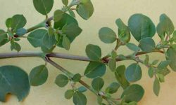 biskhapra medicinal uses