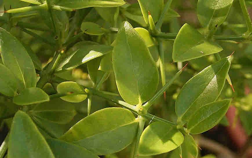 kundali plant