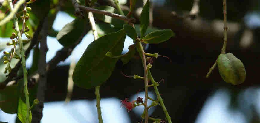 hijjal tree