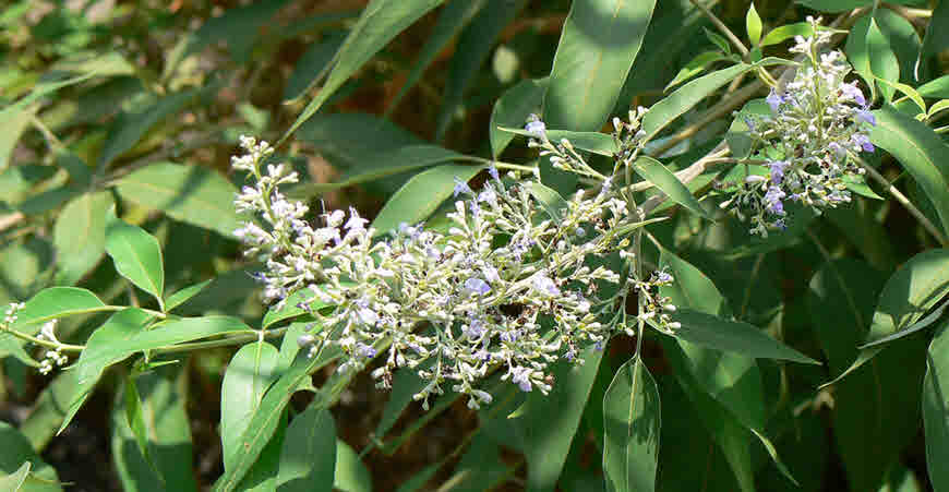 Nirgundi (Vitex negundo) Information, Benefits, Uses and