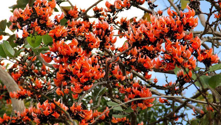 Palash Tree (Butea monosperma) Health Benefits and ... Palash Flowers Images